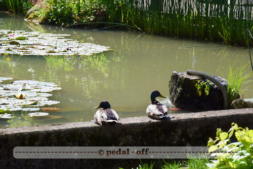 Wasser See Fluss fließend Natur Outdoor Naturfotographie münchen isar enten erpel schwimmen tiere