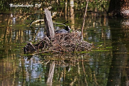 Blässhuhn auf dem Nest