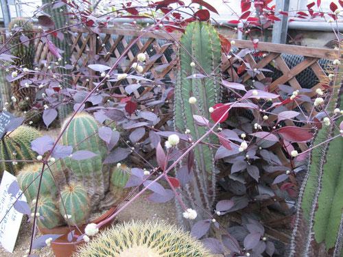 どこからきたのかセンニチコウが、ノビノビと茂っています。