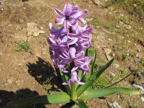ヒヤシンス。これも春を告げる花ですね。