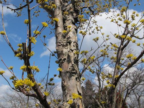 サンシュユ。別名春黄金花(ハルコガネバナ)