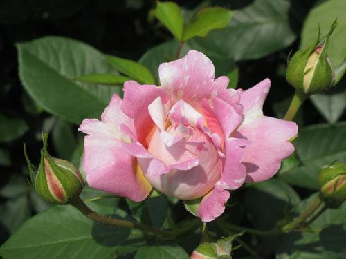 昨日のバラもキレイだったな~。