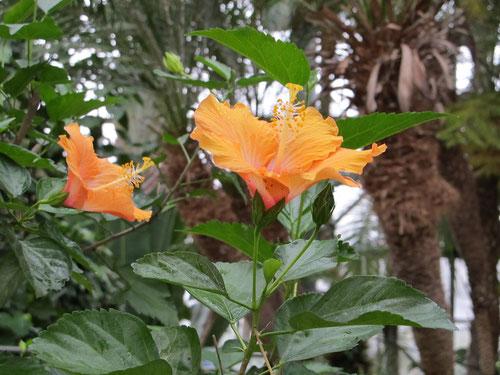オレンジ色のハイビスカスが見頃です