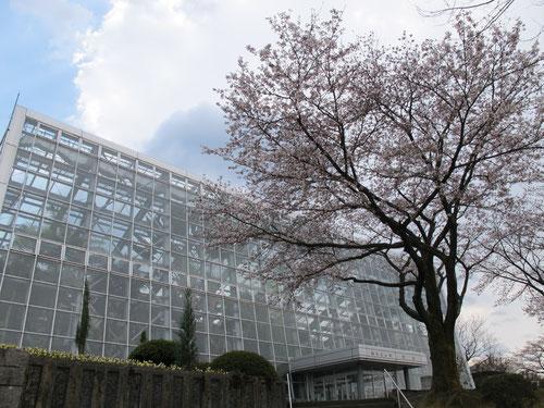 桜がもっと開くと、もっといいですね