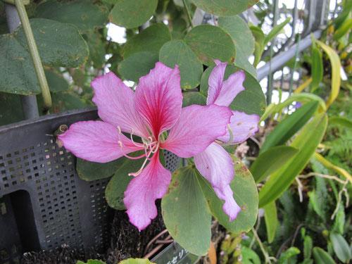 バウヒニアが咲き始めました。