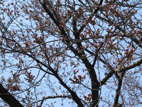 ほら。桜が咲きそう。