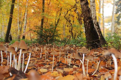 Fantasie und Wirklichkeit Fotografien und Gedichte Kathrin Steiger viele Pilze auf einem Waldboden gelbe Birkenblätter im Hintergrund
