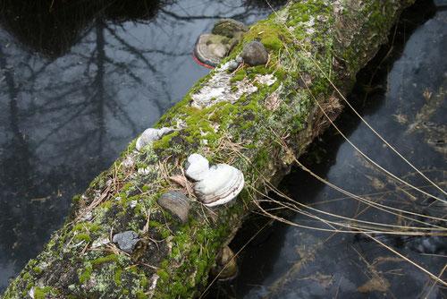 Fantasie und Wirklichkeit Fotografien und Gedichte Kathrin Steiger ein Baumstamm im Wasser mit Moos und Pilzen, im Wasser spiegelt sich ein Baum