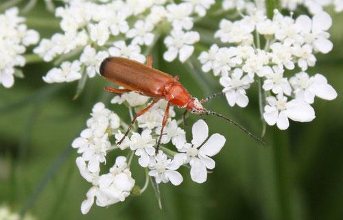 Fantasie und Wirklichkeit Fotografien und Gedichte Kathrin Steiger Käfer weiße Blütenpollen Blüten