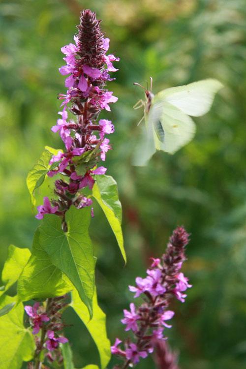 Fantasie & Wirklichkeit Fotografien und Gedichte Kathrin Steiger Schmetterling Blume romantisch schön märchenhaft