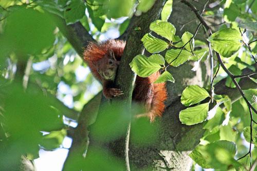 Fantasie und Wirklichkeit Fotografien und Gedichte Kathrin Steiger Eichhörnchen im Baum schaut neugierig herunter