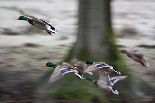 Fantasie und Wirklichkeit Fotografien und Gedichte  Kathrin Steiger  Enten im Flug