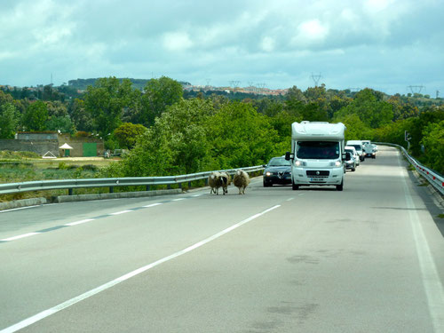 Schafe, Kühe und Pferde haben auf Sardinien Vorfahrt