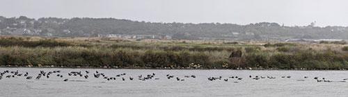 Bernache cravant - Presqu'île de Guérande (44) - 28/10/2013