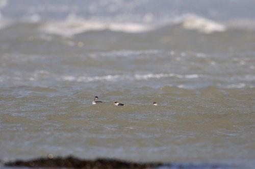 Grèbe à cou noir - adultes en plumage internuptial -- Presqu'île de Guérande (44) - 28/10/2013