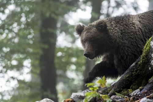 Ours brun dans son milieu naturel - Slovénie - 09/2017