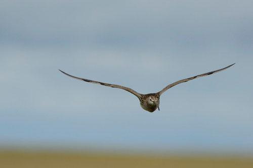 Courlis corlieu - Islande - 17/07/2014