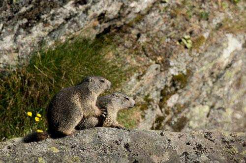 Marmotte (deux jeunes) - Valsavarenche - Gran Paradiso - Italie - 13/07/2015
