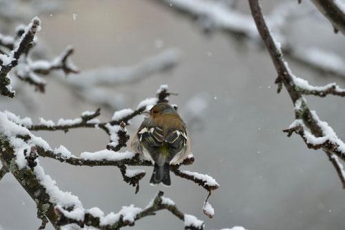 Pinson des arbres ♂ - Quérigut (09) - 27/02/2014