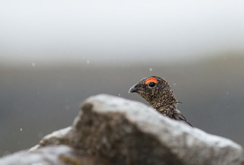 Lagopède alpin ♂ - Islande - 19/07/2014