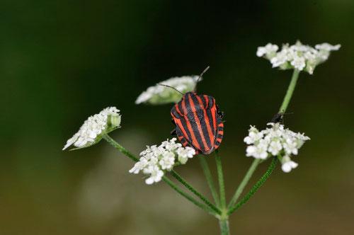 Graphosoma italicum - Buxerolles (86) - 3/07/2013