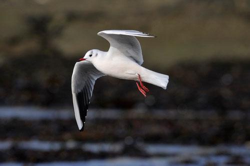 Mouette rieuse en plumage internuptiale - Presqu'île de Guérande (44) - 28/10/2013