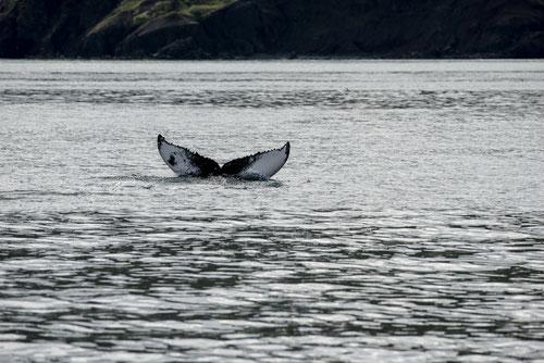 Baleine à bosse - Islande - 07/2014