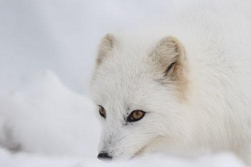 Arctic fox - Hornstandir (Islande) - 03/2016