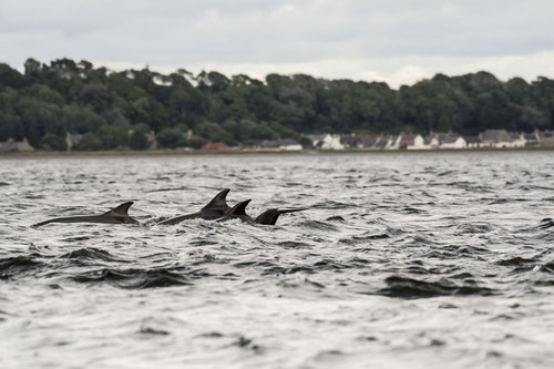 Grans dauphins - Ecosse - Chanory Point - Moray Firth - 07/2016