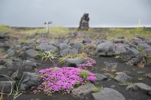 Thym (Thymus praecox subsp. arcticus) - isl : Blóðberg - En : Wild Thyme - Rift Álfagjá - 13/07/2014
