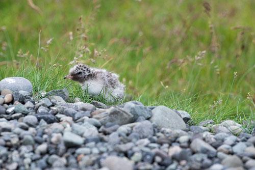 Sterne arctique - poussin - Islande - 19/07/2014