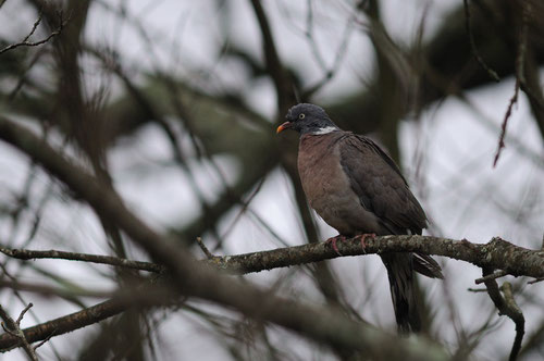 Pigeon ramier - La Roche-sur-Yon (85) - Décembre 2007
