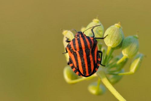 Graphosoma italicum - Buxerolles (86) - 29/08/2013