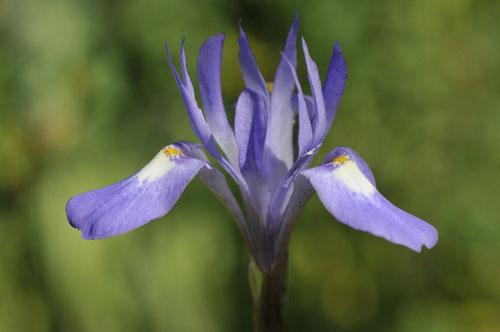 Iris faux sisyrhinque - Corse - Avril 2010