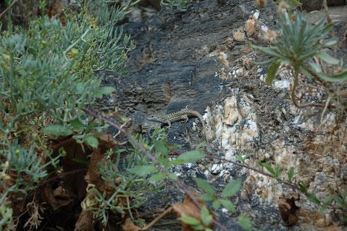 Le lézard sicilien - Haute Corse - Août 2006