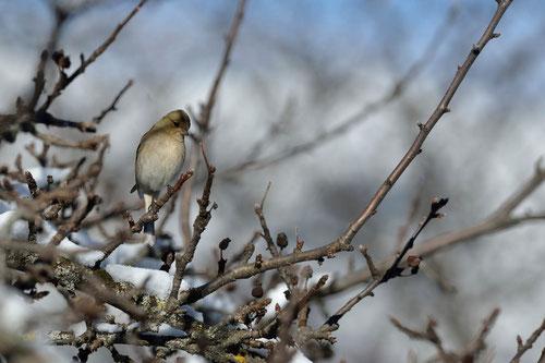 Pinson des arbres ♀ - Quérigut (09) - 27/02/2014