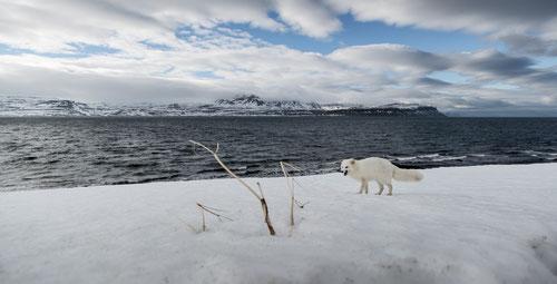 Renard polaire - Islande - Mars 2016