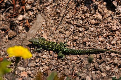 Lézard tyrrhénien (mâle adulte) - Corse-du-Sud - Avril 2010