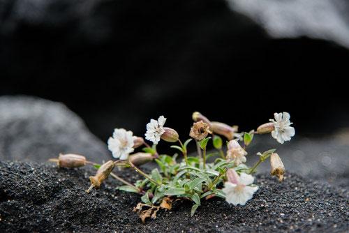 Silène à une fleur  (Silene uniflora) - isl : Holurt - En : Sea Campion - Rift Álfagjá - 13/07/2014