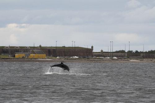 Grand dauphin - Ecosse - 16/07/2016