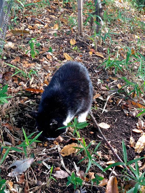 緑道沿いでたまに会う猫さん。ドングリ食べてるかと思ったらカリカリだった。誰かにもらったのね。