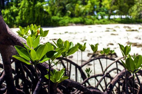 Rote Mangrove Rhizophora mangle Strand