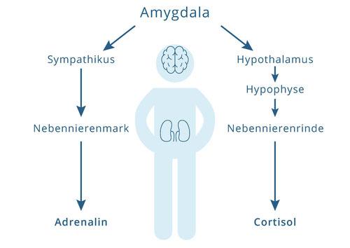 Stress-Hormone, Cortisol, Resilienz, Psychotherapie