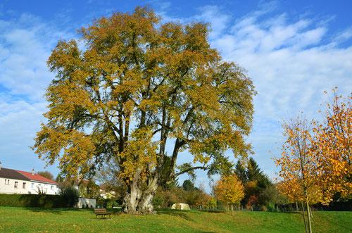 L'arbre des épousailles avec sa parure d'automne- Octobre 2015 - Lucheux