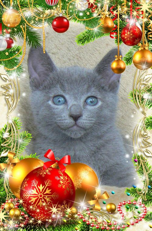 Russian blue cats, Trozayar, cattery, питомник, русская голубая