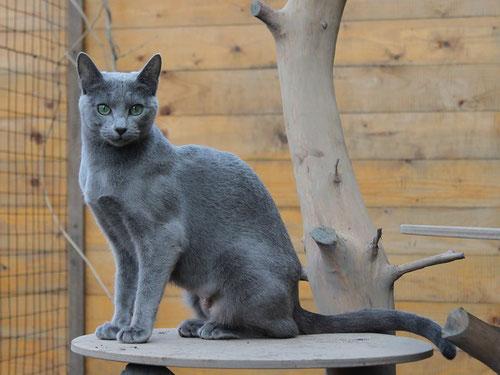 Alyona Elena Sudarinya, кошка из питомник ALYONA (Holland),