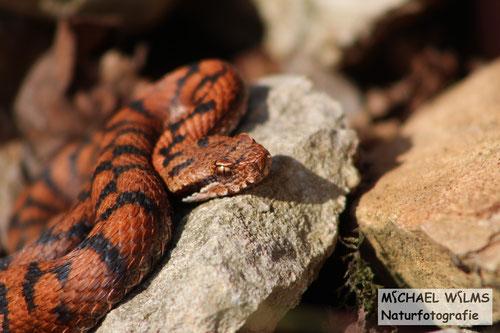 Rötlich gefärbtes Männchen