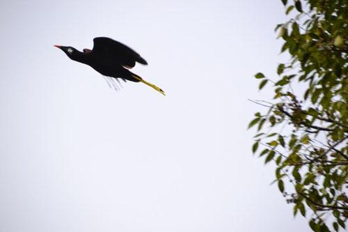 Montezuma-Stirnvogel