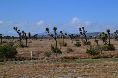 Yucca-Palmen überall