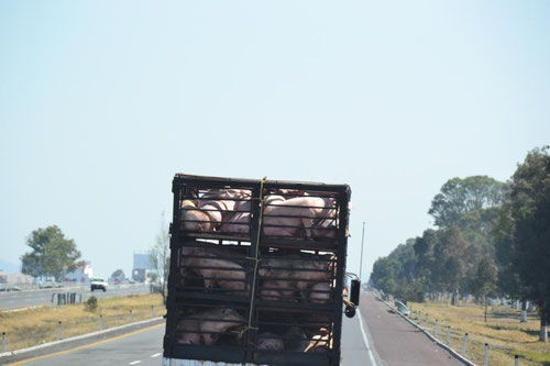 Tiertransport auf mexikanisch so...
